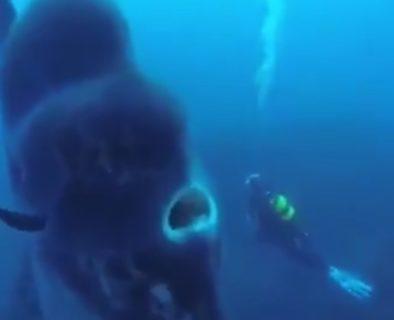 海で遭遇した「超巨大マンボウ」が凄すぎる。迫力満点!