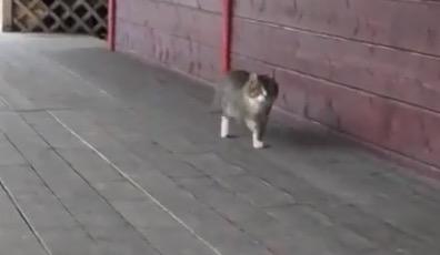 あるきかたが「独特すぎる」猫ちゃんが話題に。可愛い!