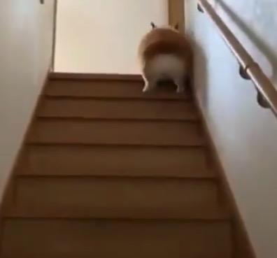 コーギー君の「階段の登り方」が絶妙に可愛すぎる!