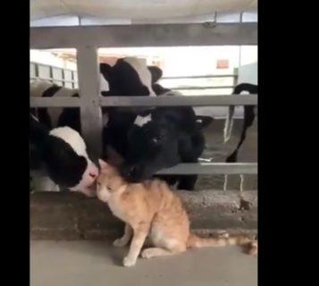 牛にモテモテな猫ちゃん。どういう関係なんだろう・・・?