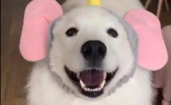 【動画】自分からダンボの耳をつける犬、笑顔が最高に可愛い!