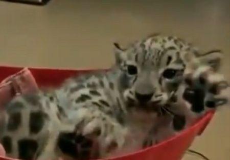 【かわいい】ユキヒョウ赤ちゃんの体重測定が話題「完全に子猫!」「手が大きいw」