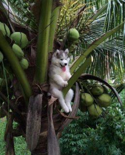 木に登って「降りられなくなった」ハスキー犬が可愛すぎる!