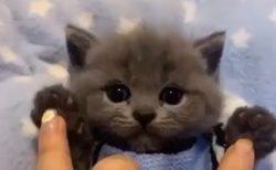 【動画】最上級にかわいい子猫が話題「ぬいぐるみみたい!」