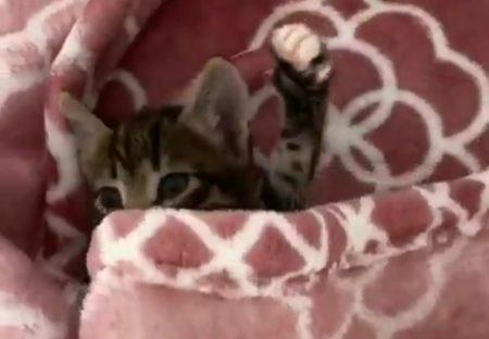 【大あくびw】めくった毛布から出てくる子猫がすごい可愛いさ
