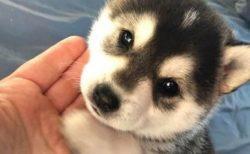 【おて】手とあごを乗せてくる子犬がたまらない可愛さ!
