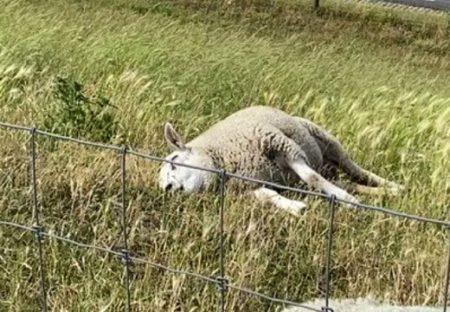 【笑】ひたすら横着な羊が話題「牛になるぞ!」「幸せそう(笑」