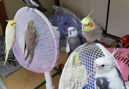 【w】扇風機が大好きなインコ達が話題「楽園みたい!」「一緒に回ってるw」