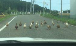 【Gメン?!】車道いっぱいに並び車に向かって歩いてくるカモ集団が話題