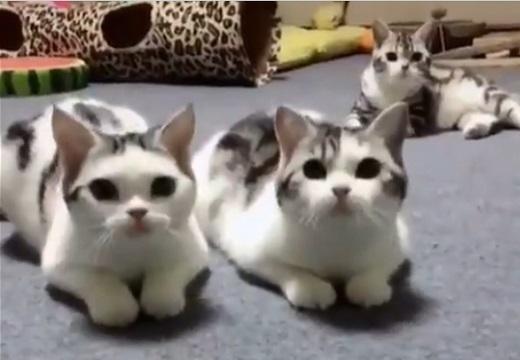 【動画】ぴったりの動きをする猫3匹が話題「我慢できない子がかわいい!」
