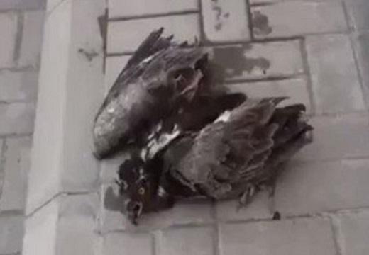【すごい】気温50度で倒れている鳥、人に水をかけてもらい復活する「助かったって顔してるw」