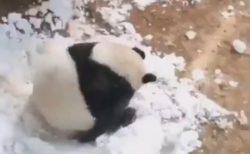 【3回転】ごろんごろん転がっていくパンダが可愛いすぎる!