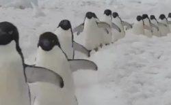 【動画】延々と続くペンギン行進を見ていると癒されることが判明!