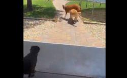 【爆笑】プールが嬉しすぎる犬、他の子を背に乗っけたまま猛ダッシュ!