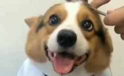 【動画】ケープつけて床屋さんしてもらってるコーギー、笑顔がたまらない可愛さ