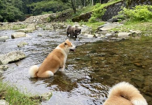 【動画】秋田犬達、川遊びの楽しみ方が独特と話題「足湯?!w」