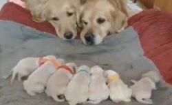 【かわいい】赤ちゃん7匹を眺める親夫婦。平和でしかない!
