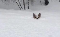 【動画】雪に埋もれながら走ってくるコーギーが可愛いすぎる!