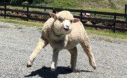 【笑】『二本足で立つマッチョな羊』に見える羊が話題「ドラクエっぽい(笑」