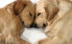 【愛】くっついて眠るゴールデンの写真、たくさん隠れているハートが話題に