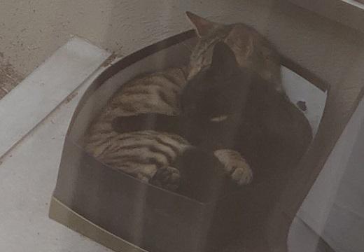 【激かわ!】さいきん野良猫の声が気になって、外に箱を置いておいたら‥まるまって眠る猫2匹が可愛いすぎる