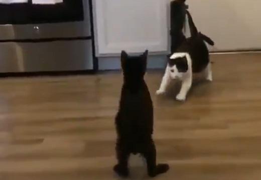 【迫力満点】猫ちゃん一騎打ちのスロー動画が話題。ジャンプがかっこいい!