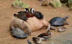 【ねこ・ワニ・猿・鳥・カメ】誰とでも仲良くなれるカピバラが話題