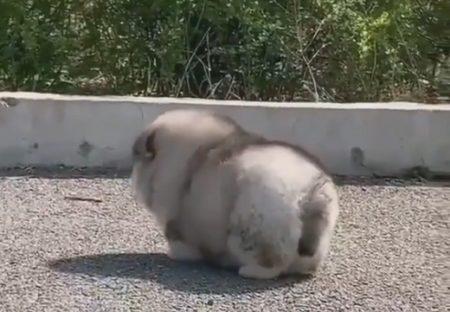 【動画】もふもふさがひたすら可愛い子犬が話題「たまらん」「最高にかわいすぎる」