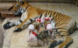 【愛】娘を失い病んでいたトラ、子ぶたが家族になり元気を取り戻す