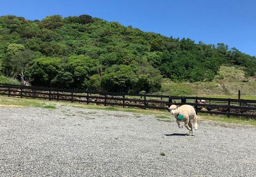 【笑】すごい勢いでこっちに走ってくる羊が話題「躍動感(笑)」「楽しそう!」