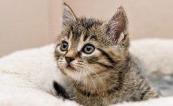 【みゃ】子猫が眠る瞬間の動画が話題「ミラクル可愛い!」「天使!」