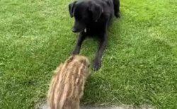 【動画】すごく仲良しなウリボウと犬!じゃれあってる様子が可愛い(・∀・)