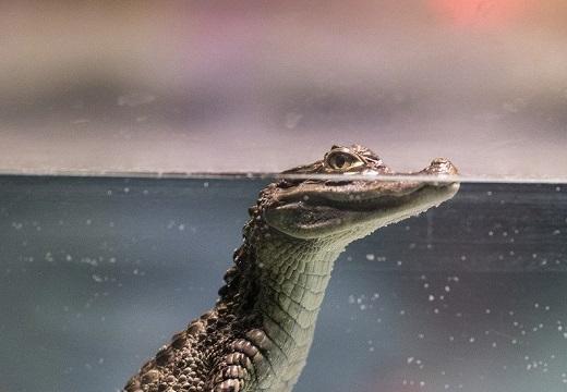 【カワイイw】水面に顔を出しているワニ、水の中の様子が意外すぎて話題に