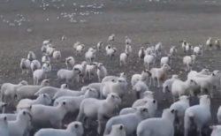 【爆笑w】羊の群れを眺めていたら・・目の前にすごい笑顔の子が!
