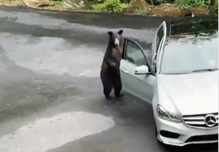【動画】近づいたベンツのドアが自動で開いてビビりまくるクマさんが可愛いw