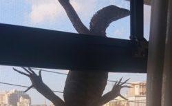 【衝撃】「ベランダに大きなトカゲみたいなのがいる!助けて!」→捕獲しに行ったら‥