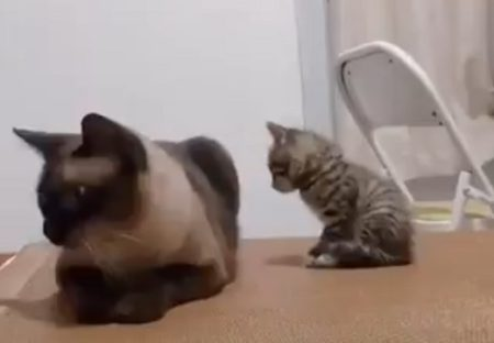 【くっつきたい】モジモジしてそっと近寄る子猫、可愛いすぎる!