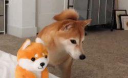 【爆笑w】とつぜん動き出したぬいぐるみにおののく柴犬くんが可愛いすぎる