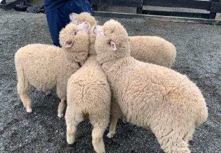 【ハーレムw】担当飼育員さんが大好きなヒツジ集団が可愛いすぎる