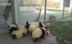 【w】子パンダの部屋の掃除、可愛いすぎる妨害が話題に
