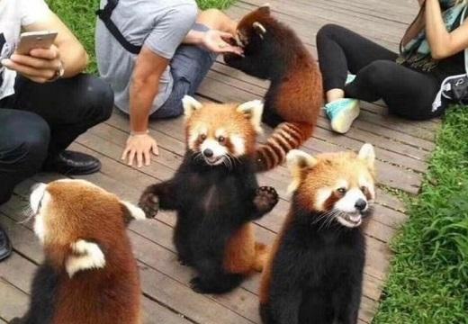 【w】人慣れしたレッサーパンダの集団、すごく可愛い!