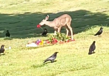 【?!】墓地で奇妙な儀式が目撃される。六芒星の配置につくカラスとその中心で花を食べる鹿・・