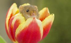 【ちっさ】日本一小さいネズミ。チューリップにちょこんと入ってる姿が話題