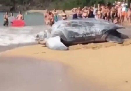 【大迫力】世界最大のカメ、ビーチから海へ戻る動画が話題「本物!?」