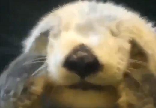 【幸福動画】両手で顔もみもみしてるラッコ!可愛いすぎる!
