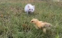 【ピョコピョコ】狙う子猫とかわしまくるひよこの動画が話題(・∀・)