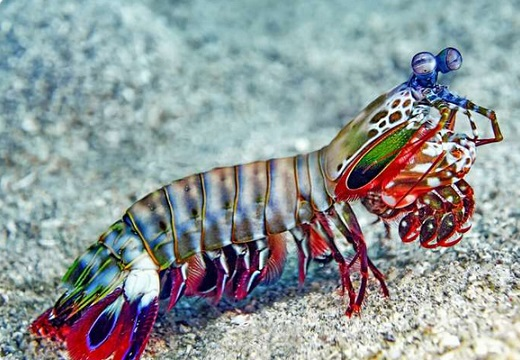 パンチスピードは地球上の生物で最速、周囲の海水を沸騰させ蟹の殻も割るシャコが凄い