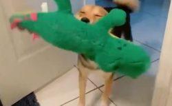 【w】新しいぬいぐるみをもらった犬、喜び方が可愛いすぎる