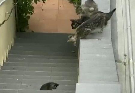 【泣いた】落ちた子猫を心配する兄弟たちと必死に助けるママ‥1分の動画が話題