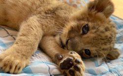 【あざとい】自分の可愛さを自覚しているライオンの赤ちゃん。視線も肉球も可愛いすぎ